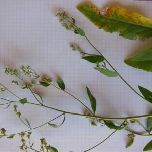 Photographie n°160939 du taxon Lepidium latifolium L.