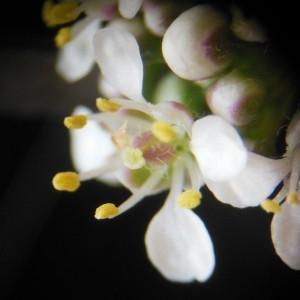 Photographie n°160941 du taxon Lepidium latifolium L.