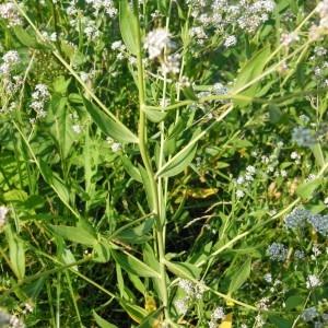 Photographie n°160942 du taxon Lepidium latifolium L.