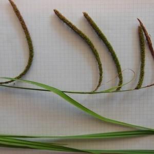 Photographie n°160998 du taxon Carex pendula Huds.