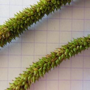 Photographie n°160999 du taxon Carex pendula Huds.