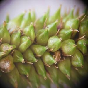 Photographie n°161000 du taxon Carex pendula Huds.