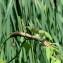 Claude PETRISSANT - Calystegia sepium (L.) R.Br.