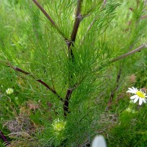 Photographie n°161052 du taxon Tripleurospermum inodorum (L.) Sch.Bip. [1844]
