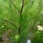 Emmanuel Stratmains - Tripleurospermum inodorum (L.) Sch.Bip. [1844]