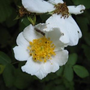 Photographie n°161089 du taxon Rosa arvensis Huds. [1762]