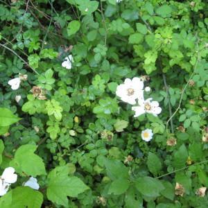Photographie n°161090 du taxon Rosa arvensis Huds.