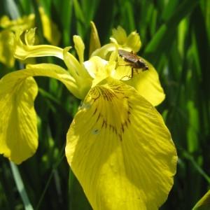 Photographie n°161190 du taxon Iris pseudacorus L. [1753]