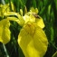 Jean-Claude Echardour - Iris pseudacorus L.