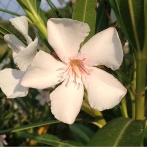 Photographie n°161197 du taxon Nerium oleander L. [1753]