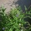 Jean-Michel LEGRAND - Epilobium tetragonum subsp. tetragonum