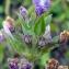 Emmanuel Stratmains - Clinopodium acinos (L.) Kuntze