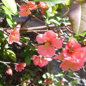 Chaenomeles japonica (Thunb.) Lindl. ex Spach (Cognassier du Japon)