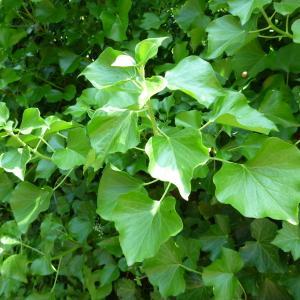 - Hedera hibernica (Kirchn.) Bean
