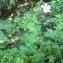 David Mercier - Geranium x oxonianum Yeo [1985]