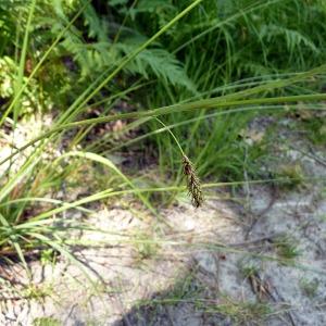 Photographie n°162159 du taxon Carex laevigata Sm.