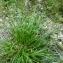 Emmanuel Stratmains - Carex viridula subsp. oedocarpa (Andersson) B.Schmid