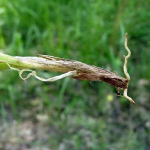 - Carex viridula subsp. oedocarpa (Andersson) B.Schmid