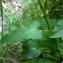 Emmanuel Stratmains - Phyteuma spicatum L.