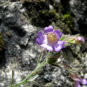 Photographie n°162222 du taxon Chaenorhinum origanifolium (L.) Kostel. [1844]