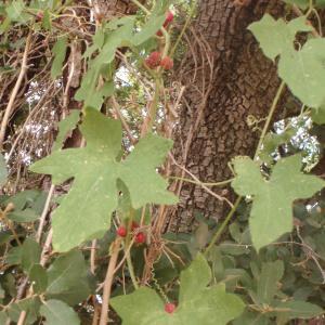 Photographie n°162236 du taxon Bryonia dioica Jacq. [1774]