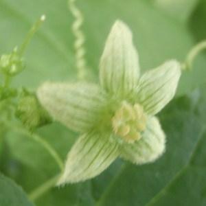 Photographie n°162238 du taxon Bryonia dioica Jacq. [1774]