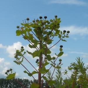 - Euphorbia palustris L. [1753]