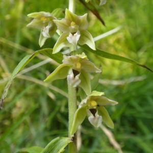 Epipactis helleborine (L.) Crantz subsp. helleborine (Épipactis à larges feuilles)