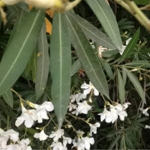 Photographie n°162470 du taxon Nerium oleander L. [1753]