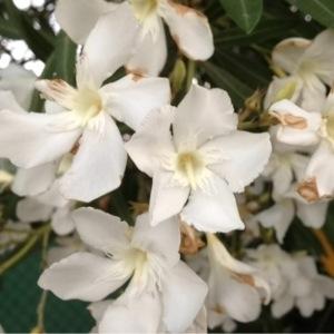 Photographie n°162472 du taxon Nerium oleander L. [1753]
