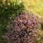 hubert JACQUET - Calluna vulgaris (L.) Hull