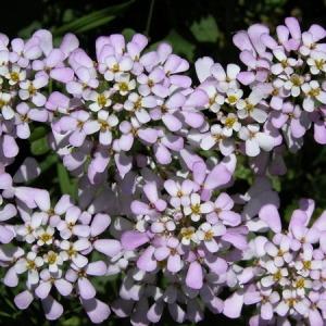 Photographie n°164655 du taxon Iberis amara L. [1753]