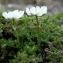Claude FIGUREAU - Ranunculus alpestris L.