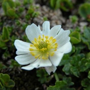 Photographie n°164688 du taxon Ranunculus alpestris L.