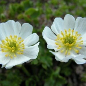 - Ranunculus alpestris L.