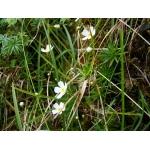Androsace lactea L. (Androsace couleur de lait)