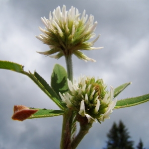 Photographie n°164790 du taxon Trifolium montanum L. [1753]
