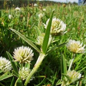 Photographie n°164791 du taxon Trifolium montanum L. [1753]
