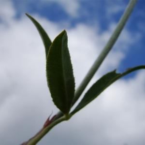 Photographie n°164792 du taxon Trifolium montanum L. [1753]