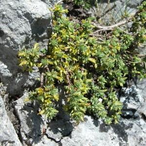 Photographie n°164857 du taxon Thymelaea dioica (Gouan) All. [1789]