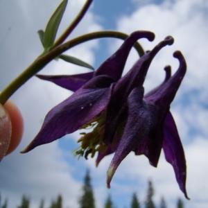 Photographie n°164894 du taxon Aquilegia alpina L.