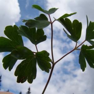 Photographie n°164895 du taxon Aquilegia alpina L.
