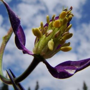 Photographie n°164897 du taxon Aquilegia alpina L.