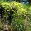 Claude FIGUREAU - Euphorbia cyparissias L. [1753]