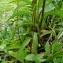 Claude FIGUREAU - Buphthalmum salicifolium L. [1753]