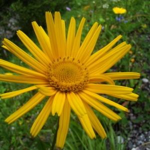 Photographie n°165001 du taxon Buphthalmum salicifolium L. [1753]
