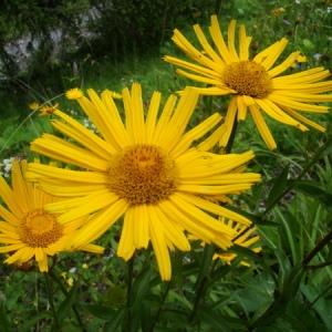 - Buphthalmum salicifolium L. [1753]