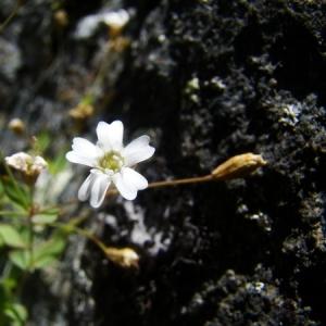 Photographie n°165028 du taxon Silene rupestris L.