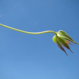Photographie n°165041 du taxon Geranium columbinum L.