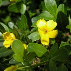 Photographie n°165073 du taxon Jasminum fruticans L. [1753]